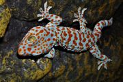 1 0 2 Gekko gecko