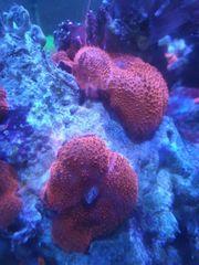 Korallen Meerwasser Scheibenanemone