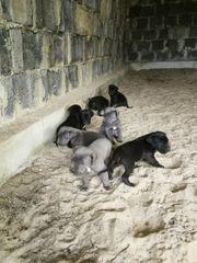 Deutsche Doggen Welpen abzugeben