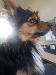 Deckrüde Gilby Chihuahua
