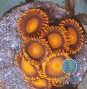 Meerwasser Zoanthus BamBam
