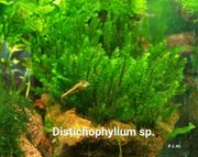 Distichophyllum sp Moos Rarität