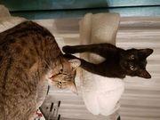 BKH EKH Mix Kitten Wurfankündigung