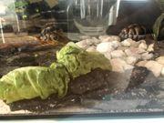 Schilkröten 2 Stück