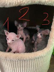 Sphynx Kitten sucht liebevolle Familie