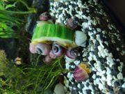 Schnecken Wasserschnecken wirbellose