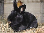 Kaninchen Jungtiere Deutsche Riesenschecken schwarz
