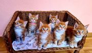 Maine-Coon-Katzen ROT red tabby 1