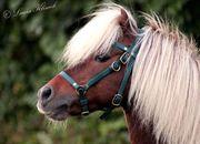 -Deckanzeige- Dt Classic Pony Hengst