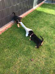 Beagle Jack Russel Welpen