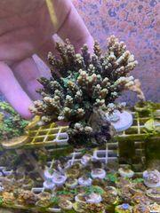 Acropora Meerwasser SPS ganzer Stock