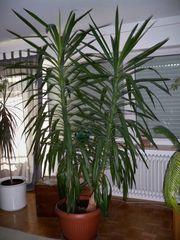 Yukka-Palme groß 2 5 Meter