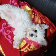 Mini Malteser Hund