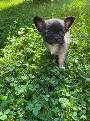 Reinrassiger Chihuahua Welpe ab dem