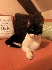 Wunderschöne Katze Molly 1 Jahr