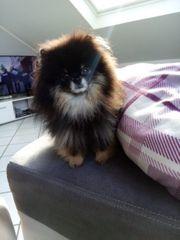 Pomeranian Zwergspitz Deckrüde