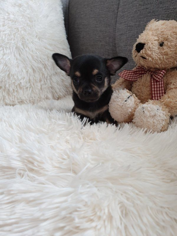 Reinrassige Chihuahua Babys