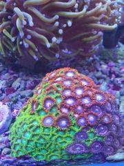 Zohantus Radioaktiv Korallen
