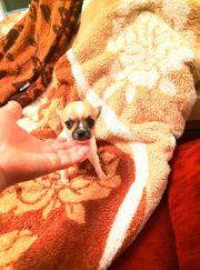 Zuckersüße reinrassige Chihuahua Welpen