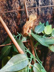 kronengecko