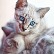 Reinrassige Bengal Kitten Katzenbaby mit