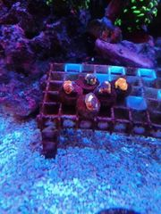 Verkaufe koralle chelica flaming bugatti