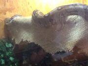 Boa constrictor Imperator Ecuador Jungle