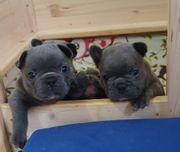 Französische Bulldogge Welpen in blue