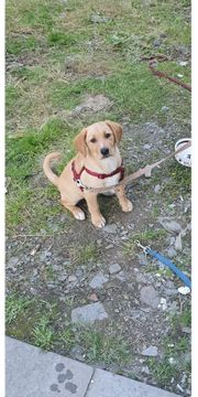 Labrador Mischling 5 Monate