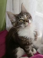 Main Coon Kittenmädchen mit tollem