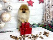 ECHTER Pomeranian Zwergspitz BOO Welpe