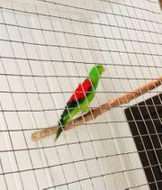 ein Pärchen Rotflügelsittiche