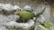Malachit-Stachelleguan Männchen