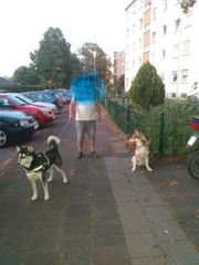 Hunde Huskys zu verschenken