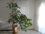 Ficus benjamini Birkenfeige im Tontopf