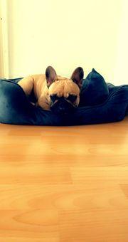 Französische Bulldogge kleines Mädchen