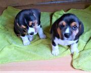 2 Mini-Beagle-Welpen Porgy und Bess