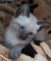Siam Kitten blue point