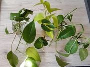 philodendron Efeutute 5 Stecklinge Ableger