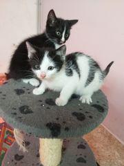 Wunderschöne Hauskatzenbabys zu verkaufen