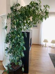 Strahlenaralie Zimmerpflanze