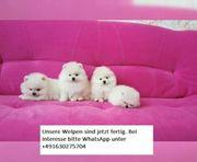 Pomeranian Zwergspitz Welpen Teddy -Typ