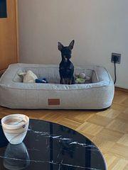 Russiky Toi Terrier zum verkaufen