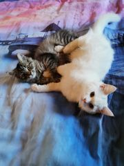 Wunderschöne Persermix Kitten