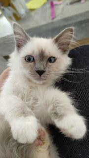 birma Kitten