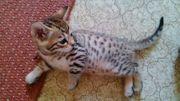Savannah Kitten F6