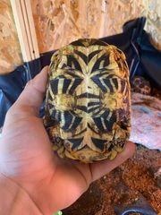 Suche weibliche Sternschildkröte