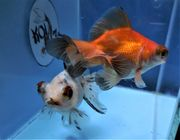 KOI 13 Anz 48 2020 Goldfisch -