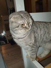 BKH Britisch Kurzhaar Katze Mix