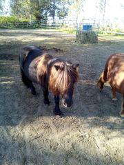 bildhübsches kleines Pony - Minipferdchen - Shetty -